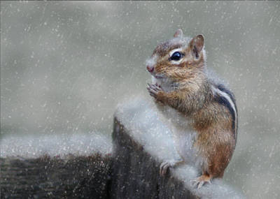 Chipmunk Photograph - Praying For Spring by Lori Deiter