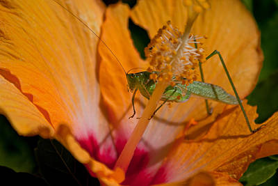 Photograph - Praying Mantis   by Roger Mullenhour