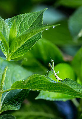 Photograph - Praying Mantis-1 by Charles Hite