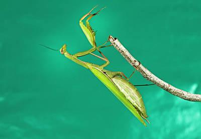 Praying Mantis Photograph - Praying Mantis 13 by Buddy Mays