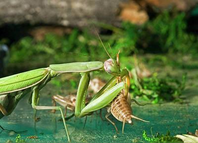 Praying Mantis Photograph - Praying Mantis 19 by Buddy Mays