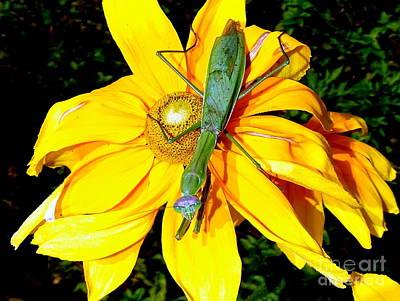 Photograph - Praying Mantis #2 by Ed Weidman