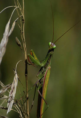 Photograph - Praying Mantis 2 by Rae Ann  M Garrett