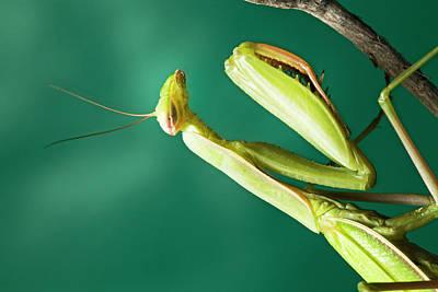Praying Mantis Photograph - Praying Mantis 7 by Buddy Mays