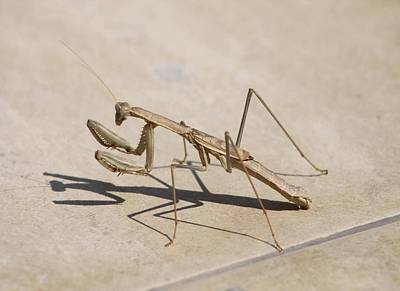 Photograph - Praying Mantis And Shadow by Tracey Harrington-Simpson