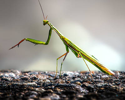 Framed Inspirational Wildlife Photograph - Praying Mantis  by Bob Orsillo