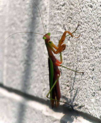 Digital Art - Praying Mantis by Chris Flees