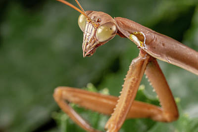 Photograph - Praying Mantis Closeup by Brian Hale