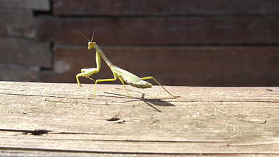 Photograph - Praying Mantis  by Don Koester