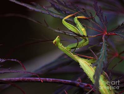 Photograph - Praying Mantis by Erica Hanel