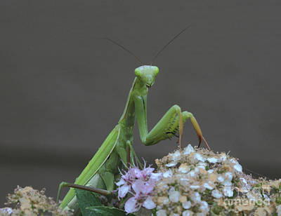 Wall Art - Photograph - Praying Mantis by Gary Wing