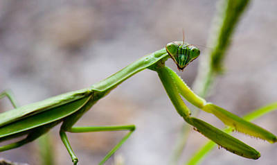 Photograph - Praying Mantis Looking by Jonny D