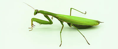 Nirvana - Praying mantis by Nicola Simeoni