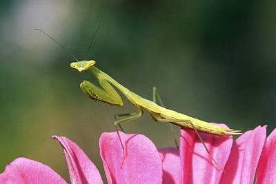 Praying Mantis Art Print by Photostock-israel