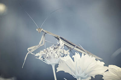 Photograph - Praying Mantis Poses In Infrared Light by Brian Hale