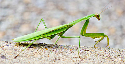 Photograph - Praying Mantis Profile by Jonny D