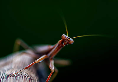Photograph - Praying Mantis by Rob Hemphill