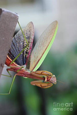 Photograph - Praying Mantis by Stacey Zimmerman