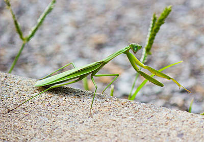 Photograph - Praying Mantis Watching You by Jonny D