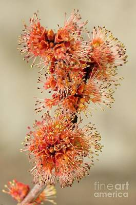 Photograph - Pre-bloom by Frank Townsley