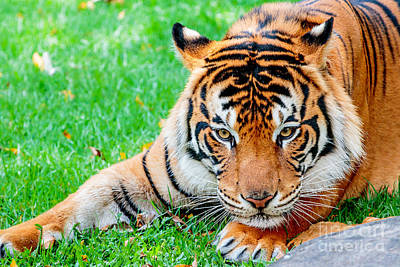 Photograph - Pre-pounce Tiger by Ray Shiu