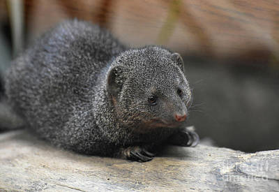 Photograph - Precious Close Up Of A Brown Dwarf Mongoose by DejaVu Designs