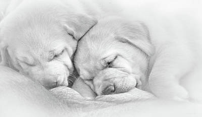 Photograph - Precious Lab Puppies Nursing Black And White by Jennie Marie Schell