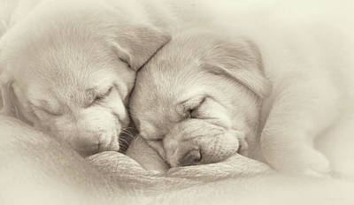 Photograph - Precious Lab Puppies Nursing Sepia by Jennie Marie Schell