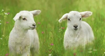 Photograph - Precious Lambs by Lori Deiter