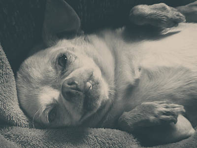 Chihuahua Photograph - Precious by Laurie Search