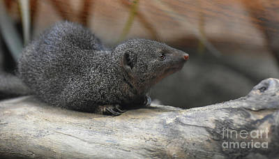 Photograph - Precious Little Dwarf Mongoose Laying Down On A Tree by DejaVu Designs