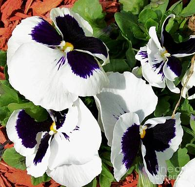 Framed Matted Photograph - Precious Pansies by Marsha Heiken