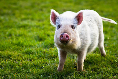Piglets Photograph - Precocious Piglet by Justin Albrecht