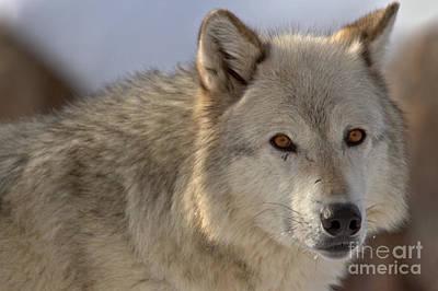 Photograph - Predator Intensity by Adam Jewell