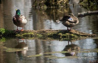 Art Print featuring the photograph Preening Ducks by David Bearden