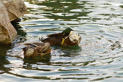 Photograph - Preening Ducks by Michael McGowan