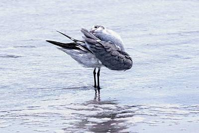 Photograph - Preening Gull by Alice Gipson