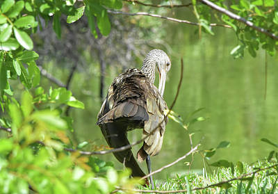 Photograph - Preening Limpkin by William Tasker
