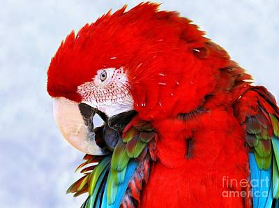 Photograph - Preening Macaw by Debbie Stahre