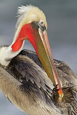 Photograph - Preening Pelican by Bryan Keil
