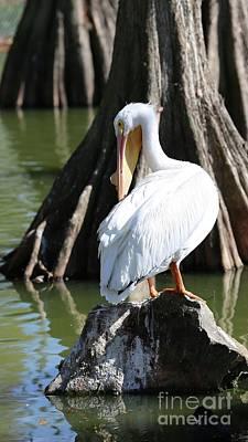 Photograph - Preening Pelican by Carol Groenen