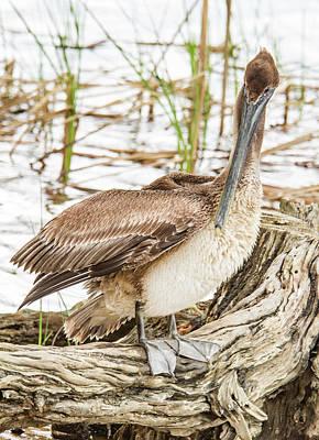 Photograph - Preening Pelican by Jean Noren