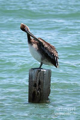 Photograph - Preening Pelican On Post by Carol Groenen