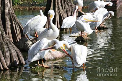 Photograph - Preening Pelicans by Carol Groenen