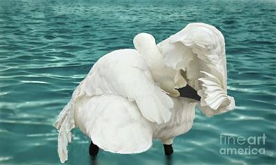 Photograph - Preening Trumpeter Swan  by Janette Boyd