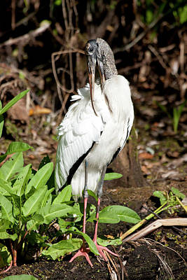 Photograph - Preening Wood Stork by Sandy Swanson