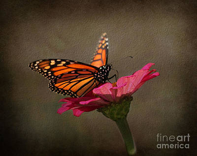 Photograph - Prefect Landing - Monarch Butterfly by Judy Palkimas