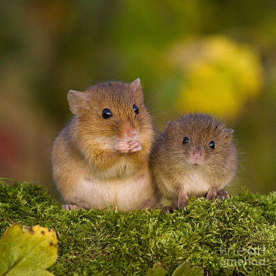 Mouse Photograph - Pregnant Harvest Mouse And Young by Jean-Louis Klein & Marie-Luce Hubert