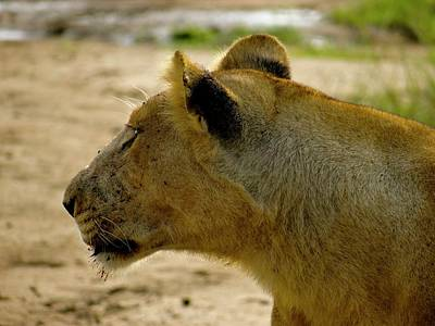 Exploramum Photograph - Pregnant Lioness Side Of Face by Exploramum Exploramum