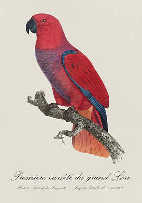 Parrot Painting - Premiere Variete Du Grand Lori / Eclectus Parrot - Restored 19thc.  Illustration By Barraband by Jose Elias - Sofia Pereira